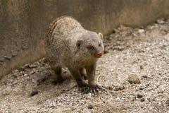 mongoose 免版税库存图片