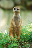 Mongoose Foto de Stock Royalty Free
