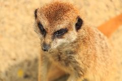 Free Mongoose Stock Photography - 118054092