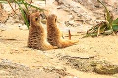 mongoose fotografia de stock
