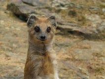 mongoose foto de archivo