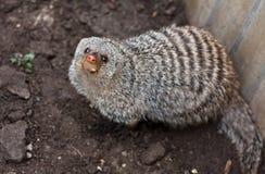 mongoose Стоковые Изображения