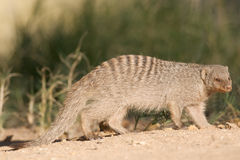 Mongoose. The banded mongoose (Mungos mungo) is one of the bigger mongoose species Stock Images