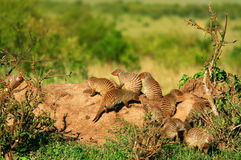 Mongoose. Heap of Mongoose. Africa. Kenya. Masai Mara Stock Photo