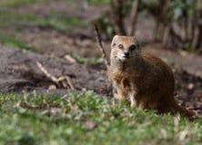 mongoose Стоковая Фотография