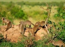 Mongoose. Heap of Mongoose. Africa. Kenya. Masai Mara Stock Image