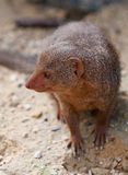 Mongoose Royalty Free Stock Images
