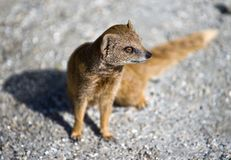 Mongoose Stock Photo