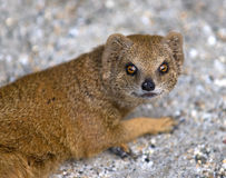 Mongoose Royalty Free Stock Photo