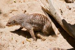 Mongoose royalty free stock photos