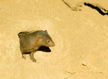 Mongoose imagem de stock royalty free