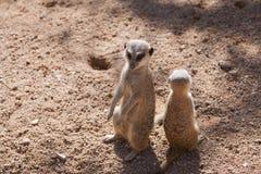 Mongoose. Two mongoose suricata on the sand Royalty Free Stock Photos
