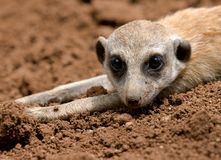 Mongoose Royalty Free Stock Photography
