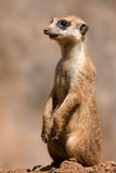 Mongoose. Lovely Mongoose portrait, also know as a meercat Stock Image