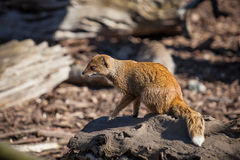 Mongoose 2 Stock Images