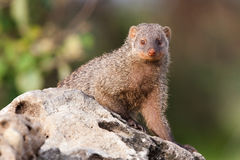 Mongoose. A banded mongoose sitting on a rock Royalty Free Stock Images