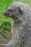 Mongoose. A mongoose watchin out, safe Stock Photos