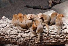 Mongoose. Stock Photos