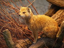 Mongoose. In a ZOO, Zagreb Stock Images