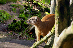 Mongoose Stock Photography