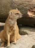 Mongoose Στοκ Φωτογραφία