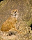 Mongoose Στοκ Εικόνα