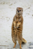 Mongoose. Standing and looking up Stock Photos