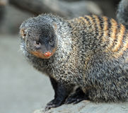 Free Mongoose Stock Images - 42337244