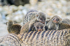 mongoose Fotos de Stock Royalty Free