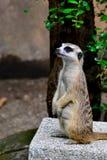 mongoose Fotografia Stock