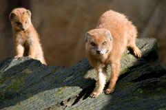 mongoose Imagen de archivo libre de regalías