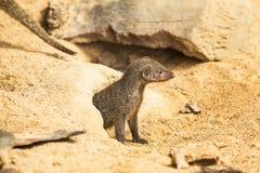 mongoose lizenzfreie stockfotografie