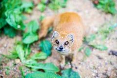 mongoose Immagini Stock Libere da Diritti