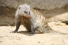 Mongoose. A curious mongoose at the Denver Zoo in Denver, Colorado Stock Photo