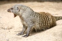 Mongoose Royalty Free Stock Photos