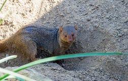 mongoose Stockfoto