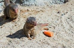 mongoose Stockbild