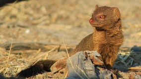 Mongoose - African garbage cleaner 2 Royalty Free Stock Photos