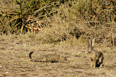 Mongoose and African hare. Mongoose closing in on an African hare in the Serengeti national park. Tanzania, Africa Stock Photos