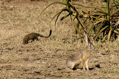 Mongoose and African hare. Mongoose closing in on an African hare in the Serengeti national park. Tanzania, Africa Stock Photography
