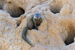 Mongoose. In the African savannah wildlife habitat Stock Photos