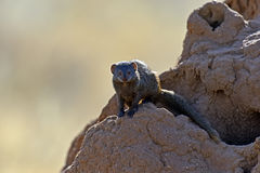Mongoose. Afrikanskfy Mongoose in their natural habitat. Kenya Stock Photos