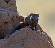 Mongoose. Afrikanskfy Mongoose in their natural habitat. Kenya Royalty Free Stock Image