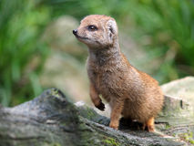 Mongoose. An alert Mongoose is standing on three legs Royalty Free Stock Images