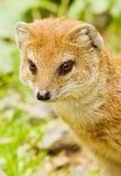 Mongoose amarelo Imagens de Stock