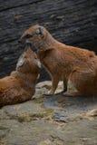 Mongoose amarelo (penicillata de Cynictis) Imagem de Stock Royalty Free