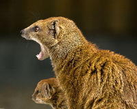 Mongoose and baby Stock Image