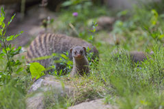 Mongoose baby Stock Photo
