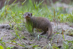 Mongoose baby Royalty Free Stock Photos