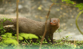 Mongoose in backyard Stock Images